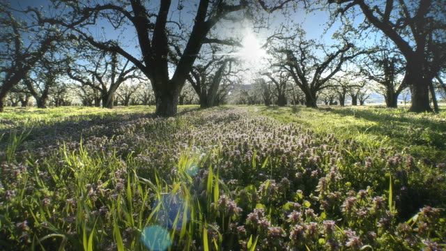 apple orchard blossoming at dawn - orchard stock videos and b-roll footage