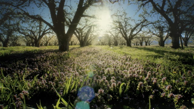 stockvideo's en b-roll-footage met apple orchard blossoming at dawn - boomgaard
