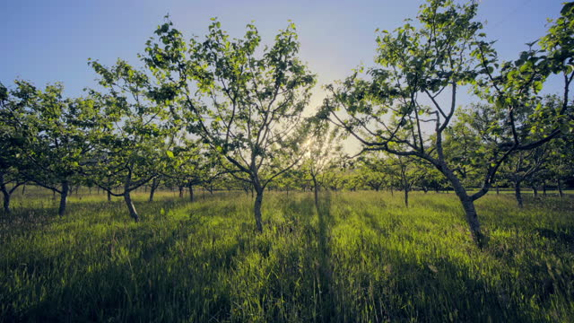 vidéos et rushes de apple orchard on organic farm, oregon - verger