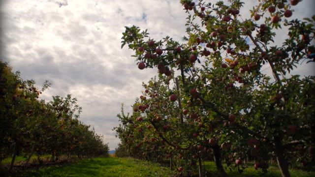 stockvideo's en b-roll-footage met t/l ws apple orchard / orem, utah, usa - orem utah
