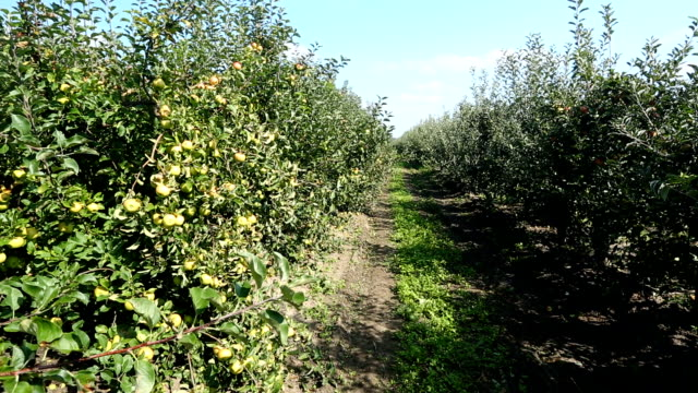apple orchard, panning - apple orchard stock videos & royalty-free footage