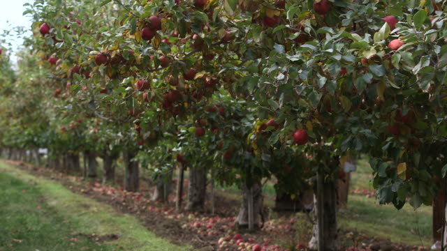 apple orchard row pans - wide shot stock videos & royalty-free footage