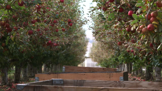 Apple Orchard Row
