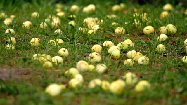 HD apple orchard