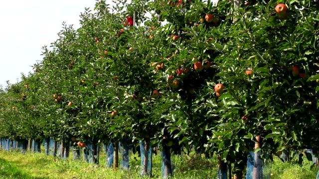 apple orchard - fruit tree stock videos & royalty-free footage