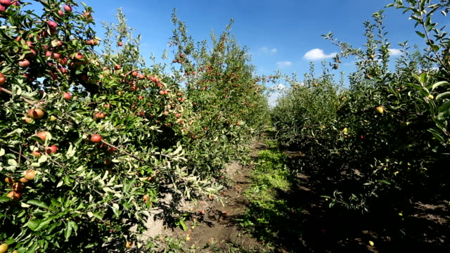 apple orchard - apple orchard stock videos & royalty-free footage