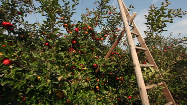 apple orchard with ladder - fruit tree stock videos & royalty-free footage