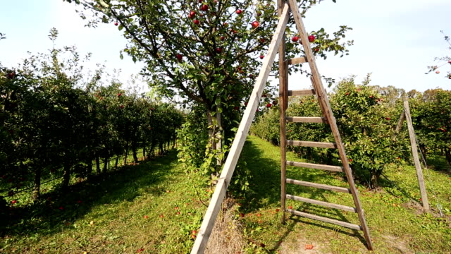 apple orchard with ladder - ladder stock videos & royalty-free footage