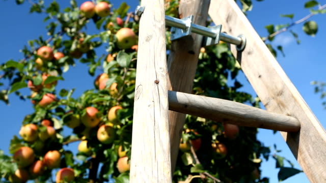 Apple Orchard with ladder