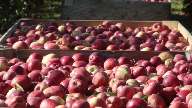 apple picking in an orchard in egerton, kent, uk on tuesday, september 15, 2020. - apple fruit stock videos & royalty-free footage