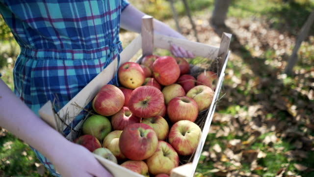 apple picking season - apple fruit stock videos and b-roll footage