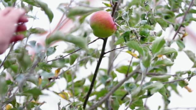 apple picking - äpple bildbanksvideor och videomaterial från bakom kulisserna