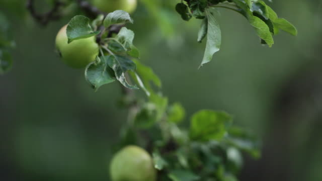 apple picking. - one mid adult woman only stock videos & royalty-free footage