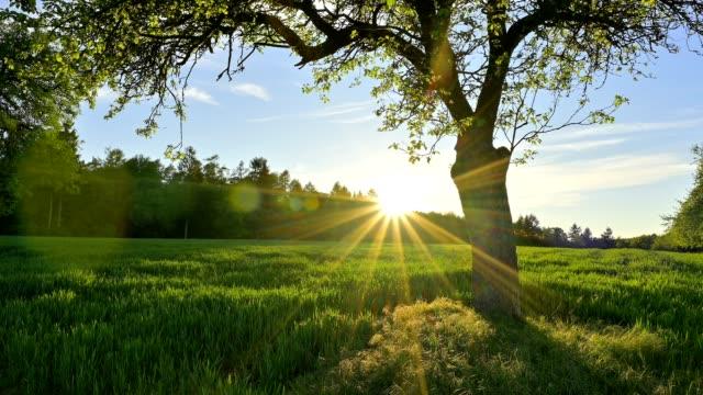 apple tree at sunset in spring - obstbaum stock-videos und b-roll-filmmaterial