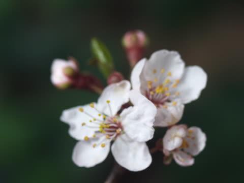 cu t/l apple tree blooming  - staubblatt stock-videos und b-roll-filmmaterial