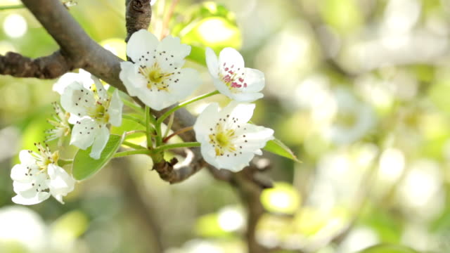 apple tree blossom - hay fever stock videos and b-roll footage