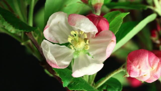 vídeos y material grabado en eventos de stock de árbol de manzana flores abiertas de alta definición - florecer