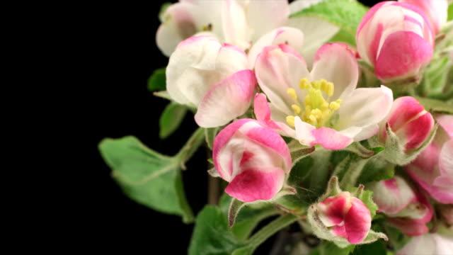 アップルツリー、花満開にブラック