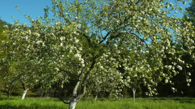 apple tree - four seasons - apple fruit stock videos & royalty-free footage