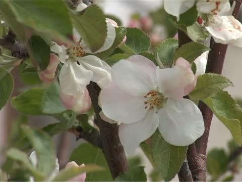 vidéos et rushes de pommier à fleurs - arbre à feuilles caduques