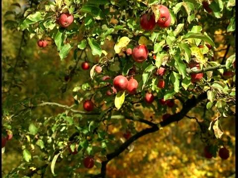 vídeos y material grabado en eventos de stock de árbol de manzano  - árbol de hoja caduca