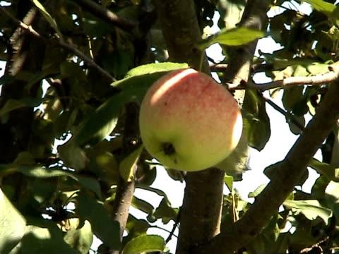 apple tree - apple orchard stock videos & royalty-free footage
