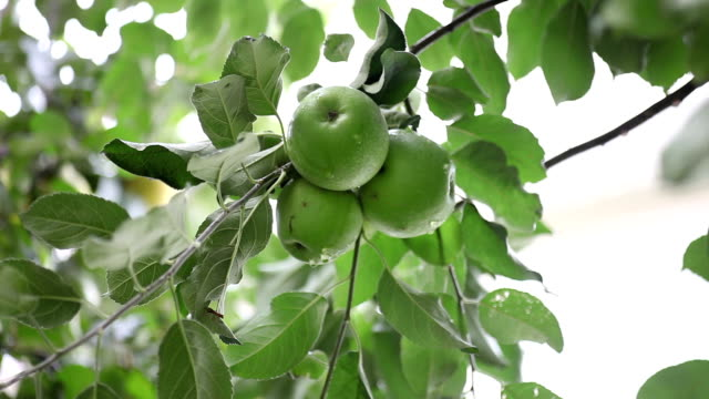 apple tree - unripe stock videos and b-roll footage