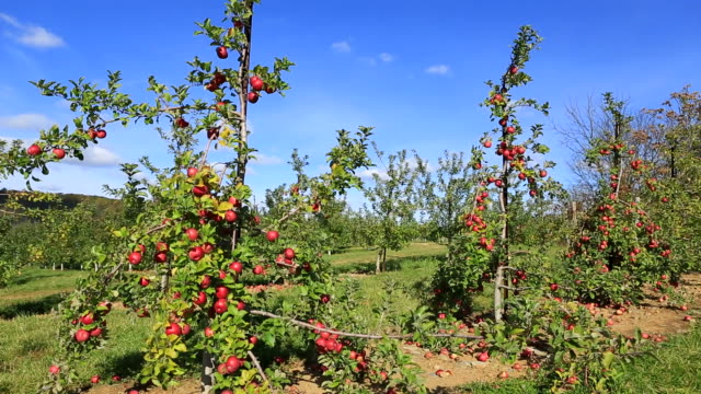 apple tree - ripe stock videos & royalty-free footage