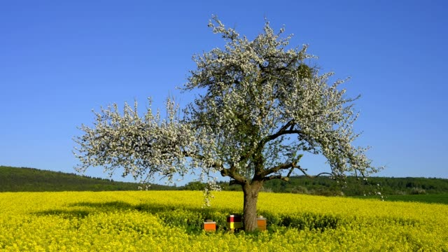 apple tree with beehive in canola field - springtime stock videos & royalty-free footage