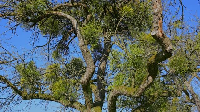 apple tree with mistletoe - bare tree stock videos & royalty-free footage