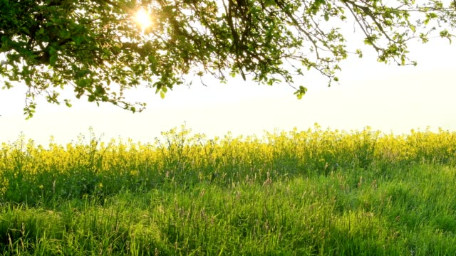 Apple tree with rape field in the morning with sun, Miltenberg, Spessart, Franconia, Bavaria, Germany