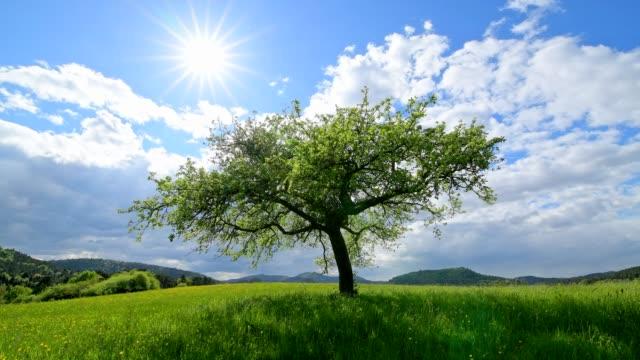 Apple tree with sun in spring, Busenberg, Pfälzerwald, Rhineland-Palatinate, Germany
