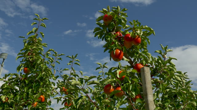 apple trees, agriculture - apple orchard stock videos & royalty-free footage