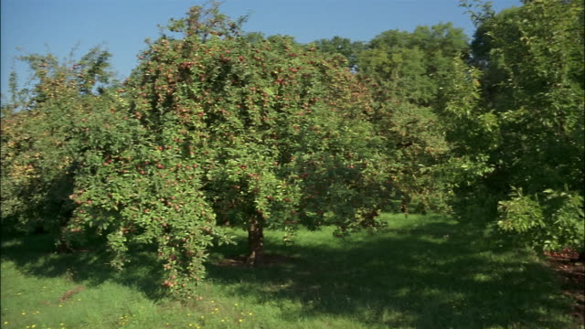Apple trees grow in an orchard.
