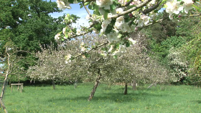 apple trees in blossom on sunny day - orchard stock videos & royalty-free footage