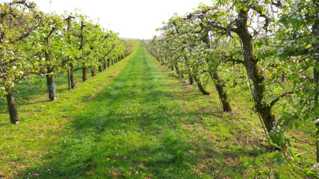 apple trees in blossom - orchard stock videos & royalty-free footage
