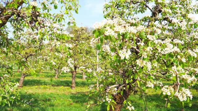 vidéos et rushes de pommiers en fleurs - verger