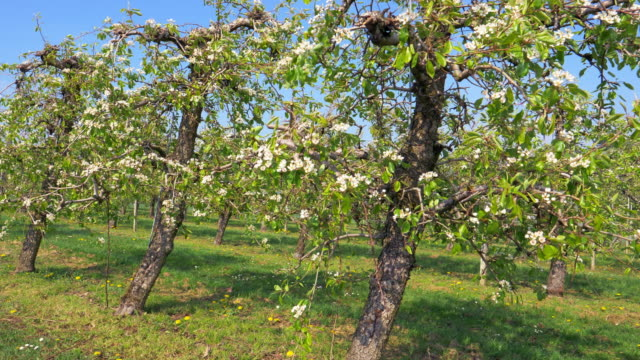 apple trees in blossom - fruit tree stock videos & royalty-free footage