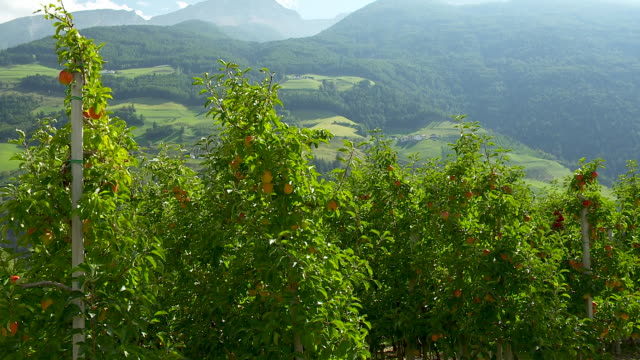 Apple trees in south tyrol