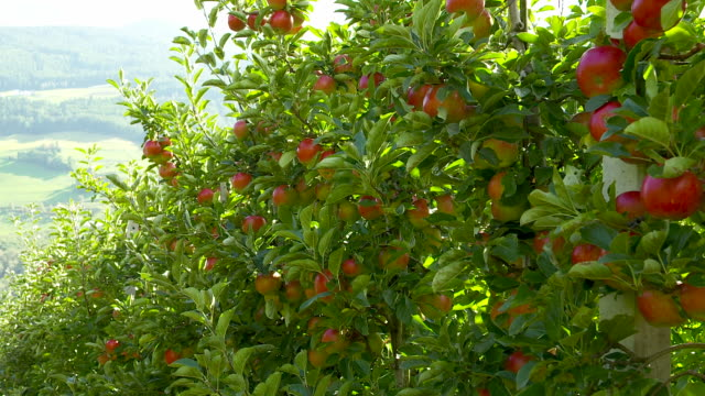 Apple trees with bountiful harvest