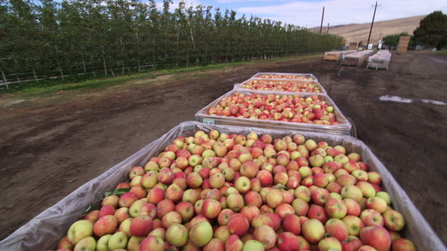 apples being moved in crates - apple fruit stock videos & royalty-free footage