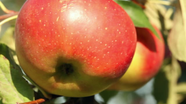 Apples - close up