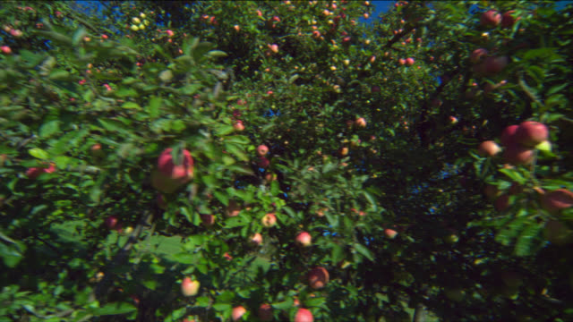 Apples cover the branches of a tree in an orchard.