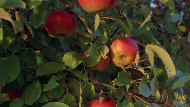 Apples grow on a tree.