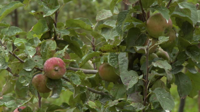 apples hanging on tree branches - grove stock videos & royalty-free footage