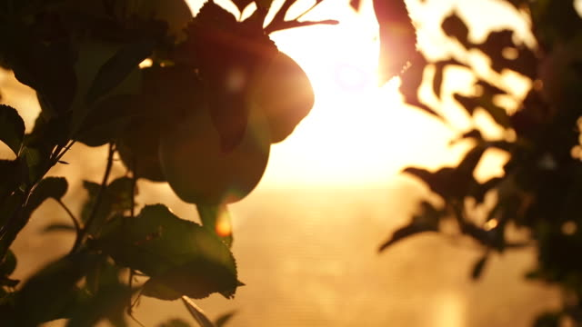 vidéos et rushes de apples in a orchard at sunset - verger