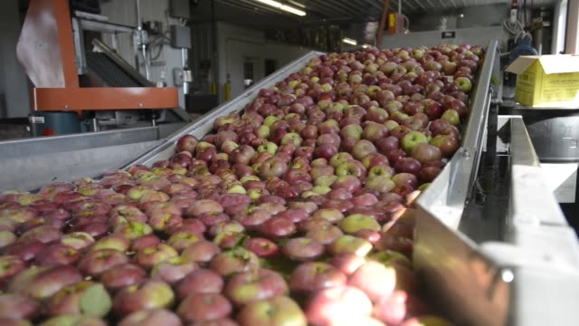 apples on a conveyer belt ready to be sorted by size and processed for shipping smaller apples are sorted out for apple sauce apple orchard sorting... - frutteto video stock e b–roll