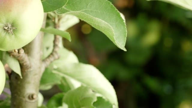 äpfel an einem baum im sommer - ast pflanzenbestandteil stock-videos und b-roll-filmmaterial