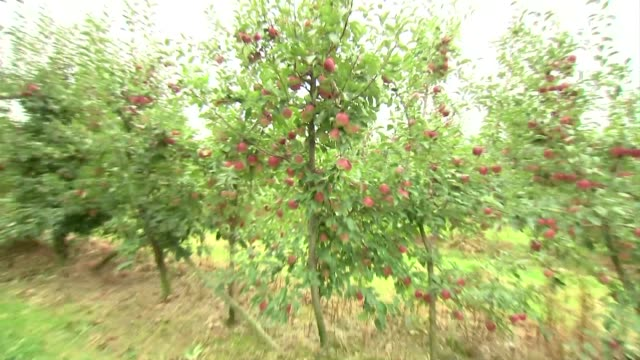 apples on apple trees - branch stock videos & royalty-free footage