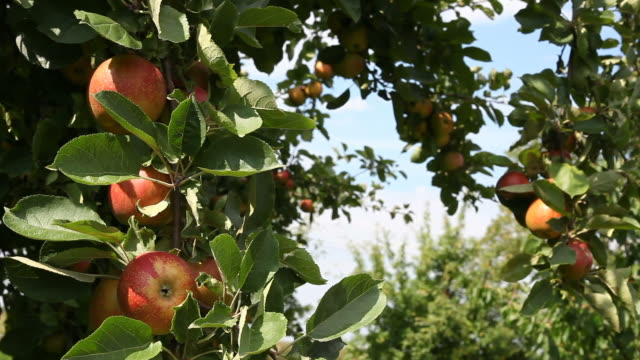 apples on branch - frische stock videos & royalty-free footage